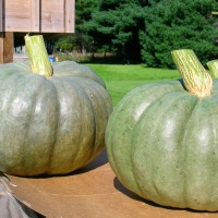 Sensing the Unique Characteristics of Jarrahdale Pumpkins