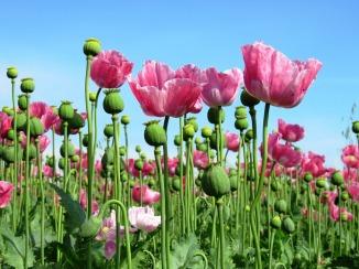 poppy-1573061_960_720.jpg