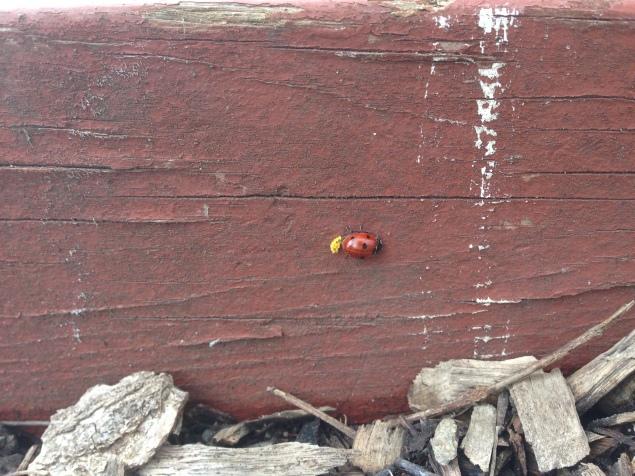 Ladybug laying eggs.