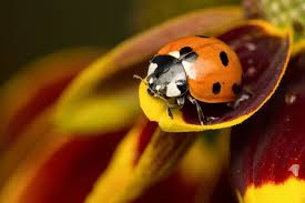 A ladybug has a rounder abdomen that is bright orange or red. They feed on pests such as aphids and whiteflies.