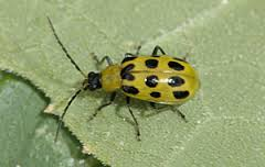 Cucumber beetles have a longer abdomen that is yellow-green in color with spots or stripes. They chew holes in cucurbits (squash, melons, pumpkins and, as its name implies, cucumbers).