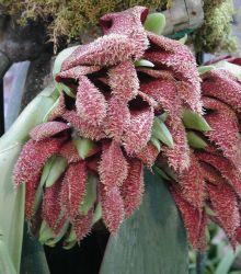 Bulbophyllum-phalaenopsis.jpg.1000x0_q80_crop-smart