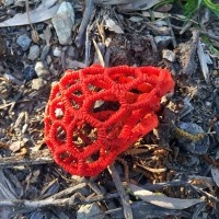 Beware of the Red Cage Fungus!